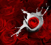 Red Roses and Splash of Romance