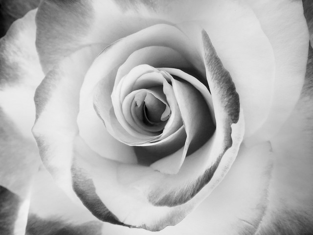 rose photo  by Sherrie Thai of Shaireproductions