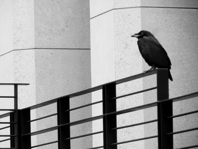 crow in SF by Sherrie Thai of Shaireproductions